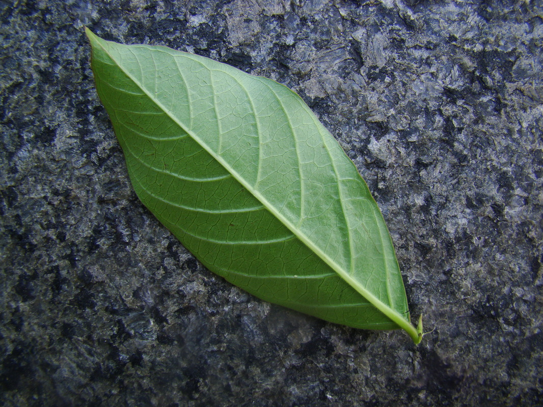 Crapemyrtle leaf under side