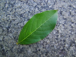 Crapemytle leaf upper side