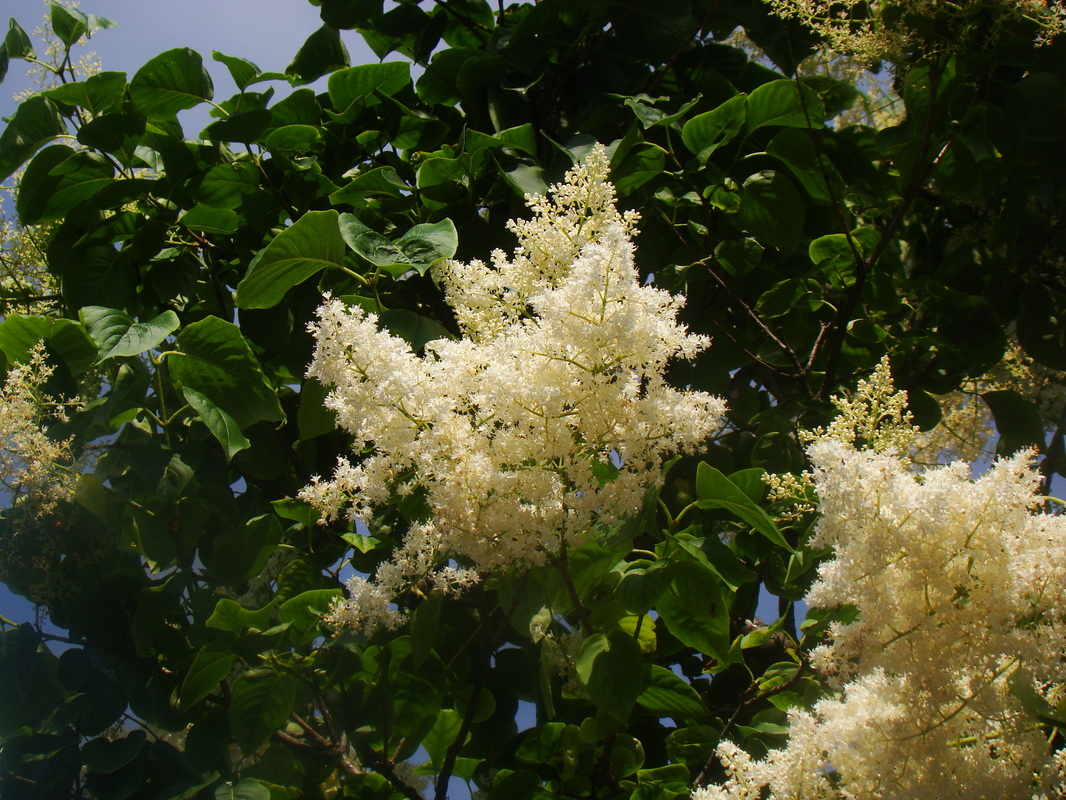 Tree Lilac flowers