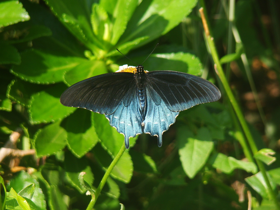 Pipevine Swallowtail, male